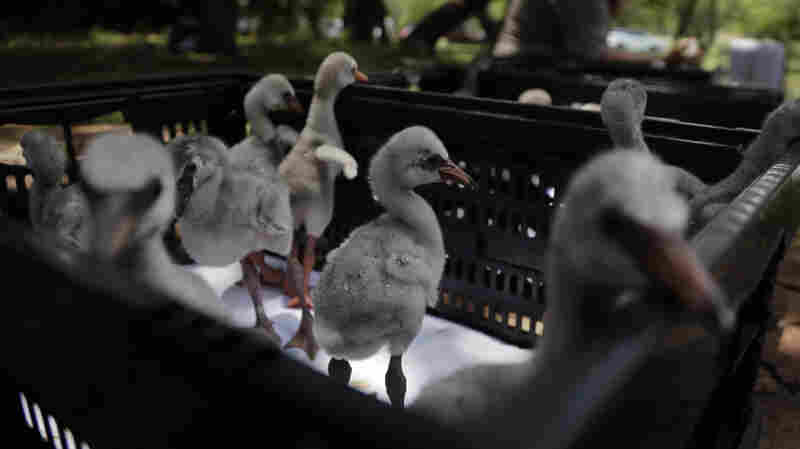 Thirsty Baby Flamingos Airlifted To Safety In South Africa