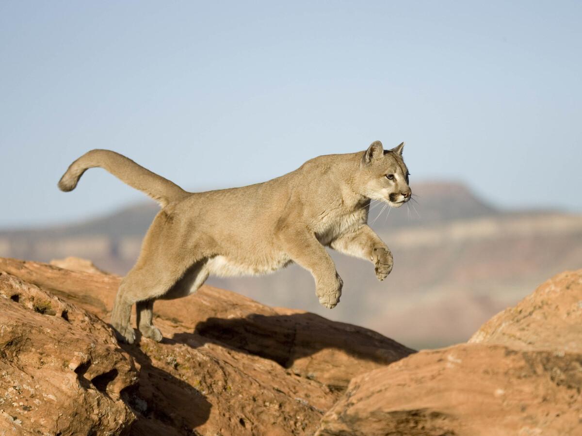 Colorado Runner Kills Mountain Lion In Self-Defense : NPR
