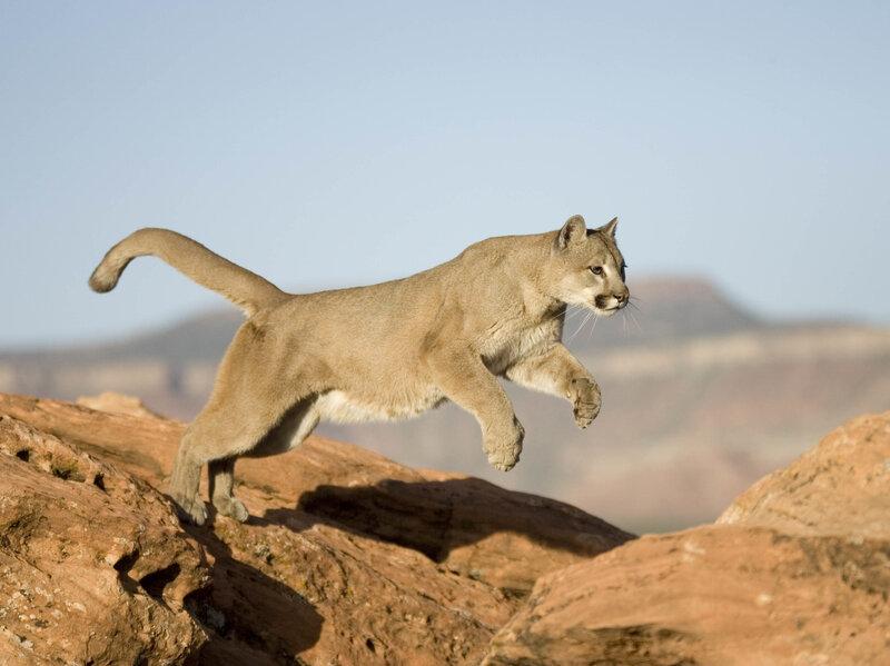 e379f36ed Colorado Runner Kills Mountain Lion In Self-Defense : NPR