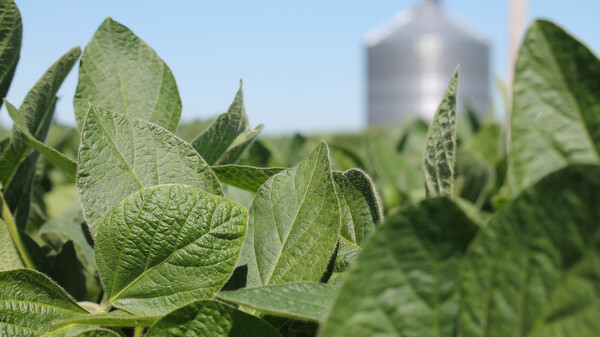 Soybeans have been at the center of a controversy over the use of dicamba, an herbicide which can drift over property lines and cause damage to neighboring crops. A new type of soybean seed, engineered to withstand dicamba, is seizing a majority of the market.