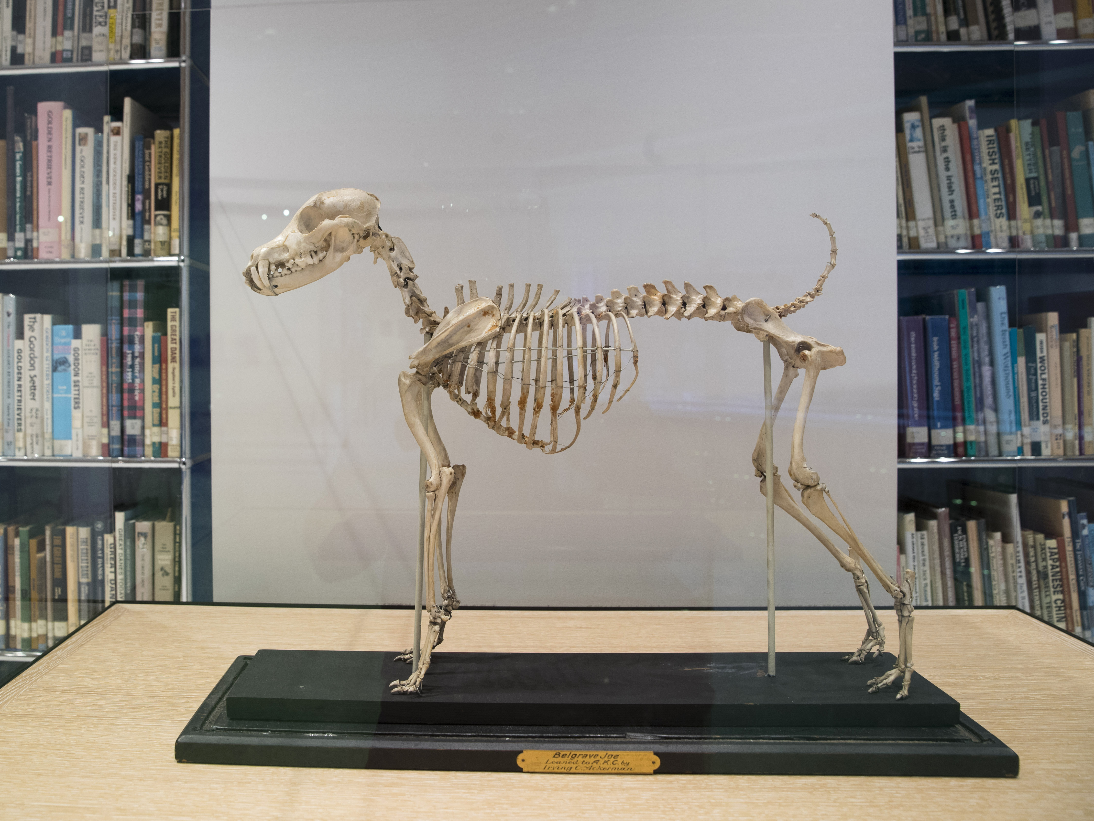 Visitors can see the skeleton of Belgrave Joe, the foundation sire of both fox terrier wire and smooth bloodlines, at the Museum of the Dog.