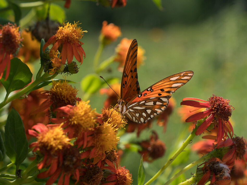 A Gulf fritillary butterfly perches on a flower at the National Butterfly Center, which is home to several endangered plants and threatened animals. The center is asking a federal judge to block government officials from building a border wall on its property. (Claire Harbage/NPR)