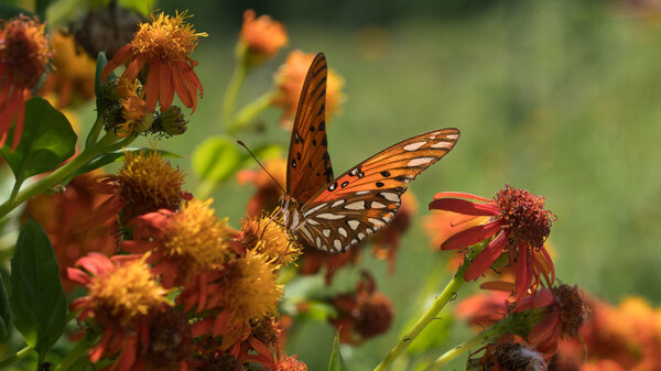 A Gulf fritillary butterfly perches on a flower at the National Butterfly Center, which is home to several endangered plants and threatened animals. The Center is asking a federal judge to block government officials from building a border wall on its property.