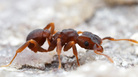 Scientists have isolated a molecule with disease-fighting potential in a microbe living on a type of fungus-farming ant (genus <em>Cyphomyrmex). </em>The microbe kills off other hostile microbes attacking the ants' fungus, a food source.