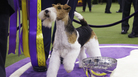 King, a wire fox terrier, poses for photographs after winning best in show at the 143rd Westminster Kennel Club Dog Show Tuesday. It's the 15th time a wire fox terrier has taken the top spot.
