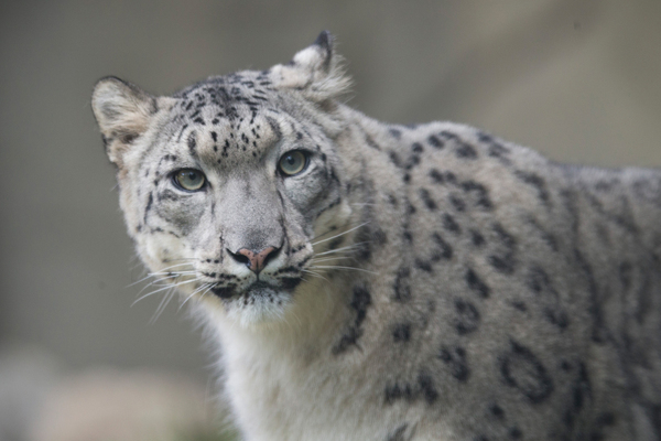 A female snow leopard at the Brookfield Zoo in Chicago. Populations in the wild are declining and the species is classified as vulnerable by the International Union for Conservation of Nature.