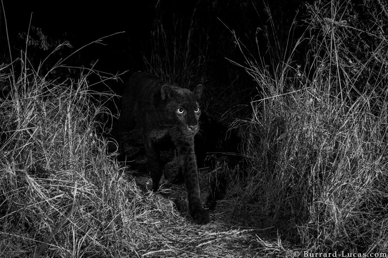 Image of: Wildlife Npr Rare Black Leopard Seen In Kenya Npr