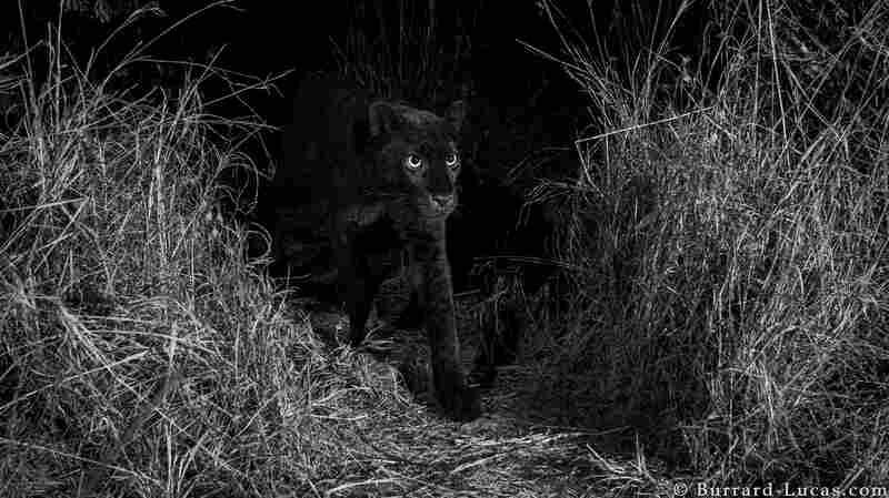 Rare, Elusive Black Leopard Caught On Camera In The Wild