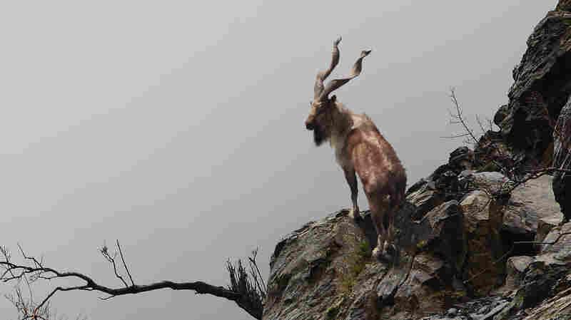 A U.S. Hunter Paid $110,000 To Shoot A Pakistani Goat