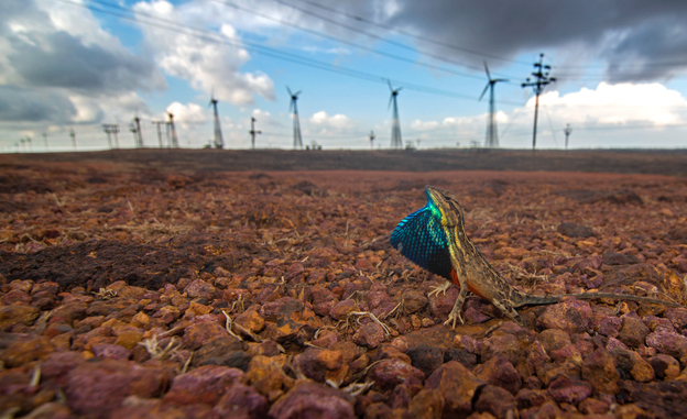 A fan-throated lizard displays his dewlap sac in front of Asia's largest wind farm in the Western Ghats mountains of India. The construction of the windmills altered the <em></em>habitat of the lizards dramatically.