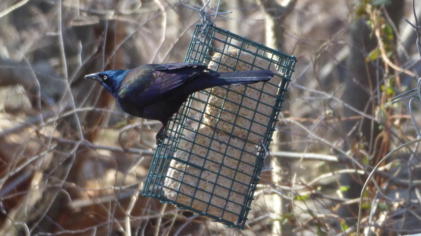 Talkin' Birds: The Great Backyard Bird Count : NPR