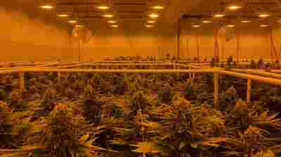 Growing Marijuana Industry Struggles To Attract Employees Of Color