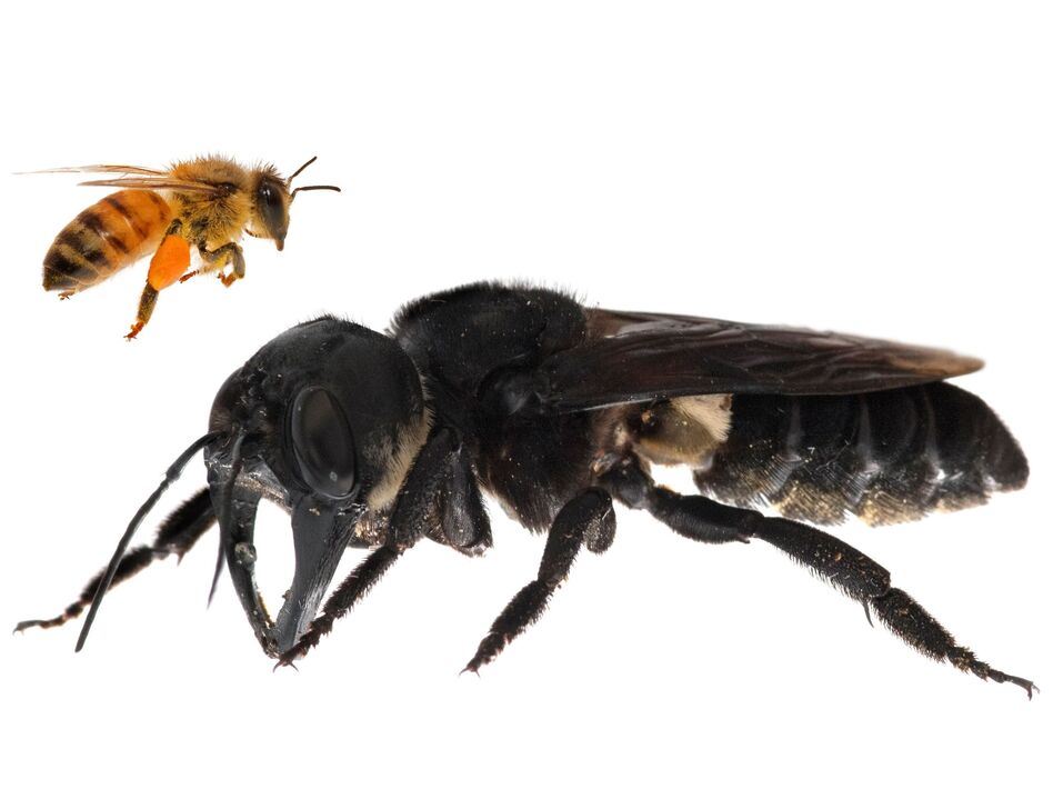 One of the first images of a living Wallace's giant bee was captured after a recent rediscovery of the world's largest bee in Indonesia. As this composite image illustrates, the bee is approximately four times larger than a European honeybee. (Clay Bolt/claybolt.com)