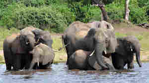 Botswana Weighs Lifting Hunting Ban, With Eye On Reducing Elephant Population