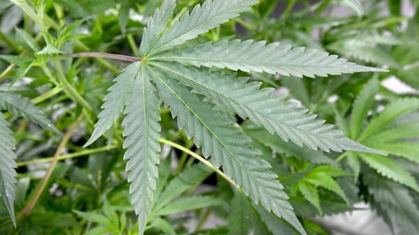 Marijuana plants grow in a marijuana cultivation facility on July 6, 2017 in Las Vegas, Nevada.