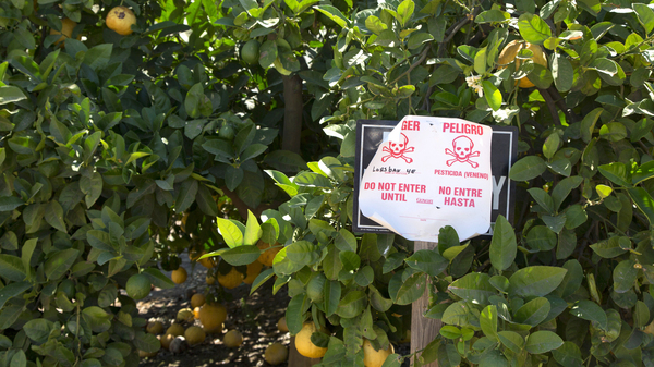 A pesticide warning sign in an orange grove warns in English and Spanish that the pesticide chlorpyrifos, or Lorsban, has been applied to these orange trees.