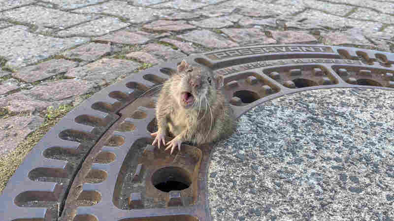 German Firefighters Work To Free Rotund Rat Stuck In Manhole Cover
