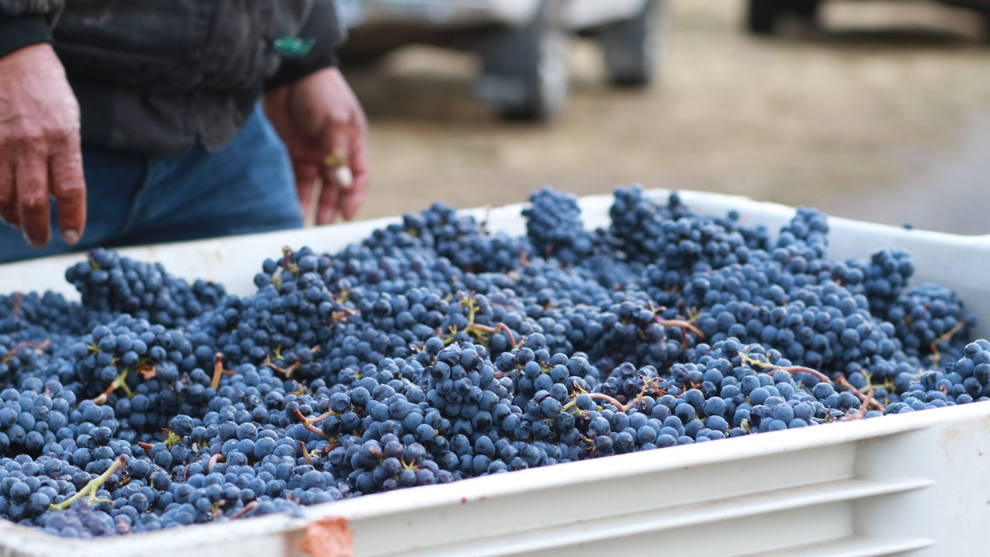 Oregon Wineries Come Together To Save Grapes Rejected For Smoke Taint