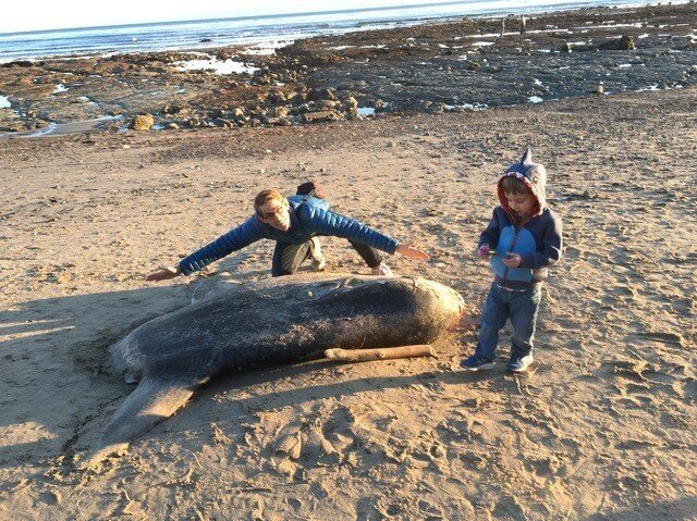 Scientists Shocked By Rare, Giant Sunfish Washed Up On California