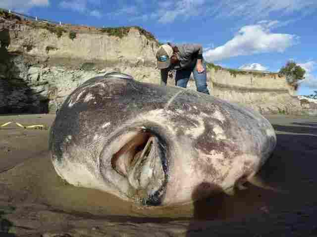 Hoodwinker sunfish: Rare fish washes up on California beach