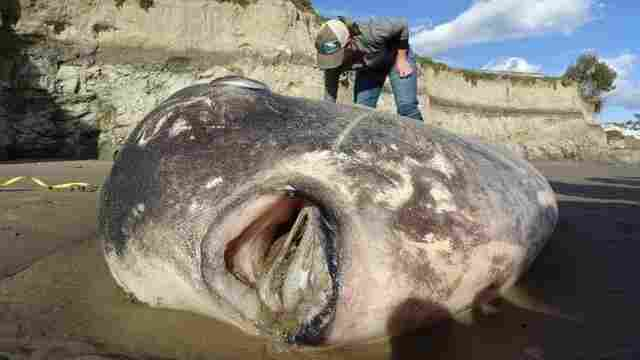 Scientists Shocked By Rare, Giant Sunfish Washed Up On California Beach
