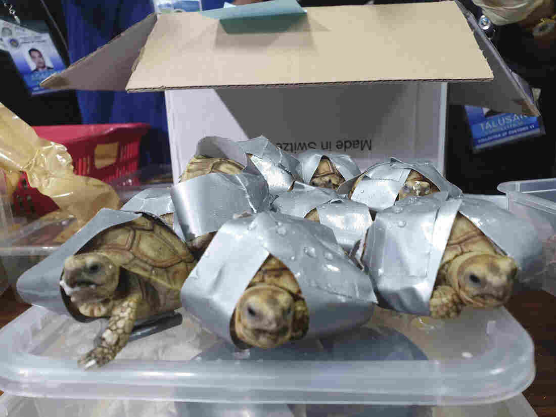 Over 1500 turtles found inside luggage in Philippines