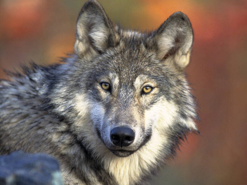 1f61ffd12c469a Trump Administration Seeks To Take Gray Wolf Off Endangered Species List