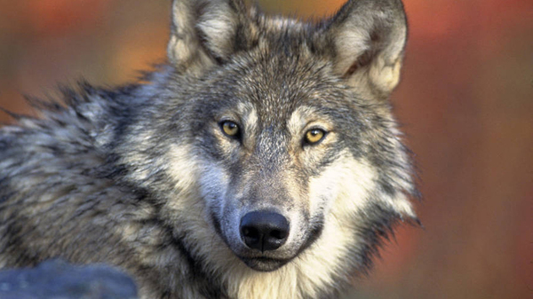 The U.S. Fish and Wildlife Service will propose lifting protections on the gray wolf, seen here in 2008. The species