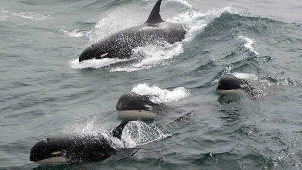 New Type Of Orca Found Swimming Near Antarctica