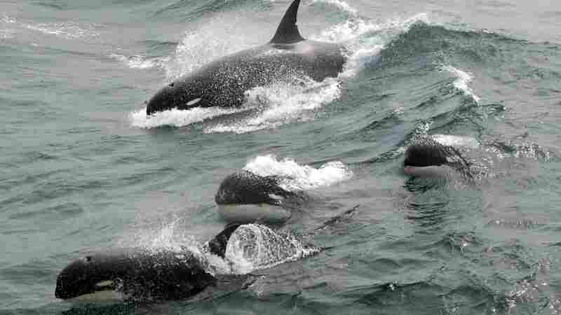 Mysterious Type Of Killer Whale, Sought After For Years, Found In Southern Ocean