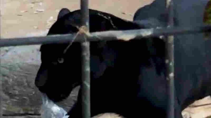 Selfie-Taking Woman Apologizes After Jaguar Attack At Arizona Zoo