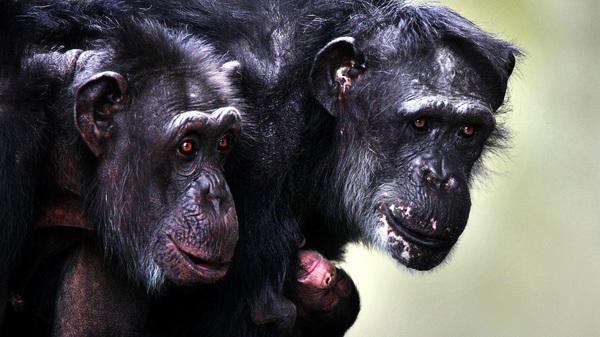 A chimpanzee hugs her newborn at Burgers