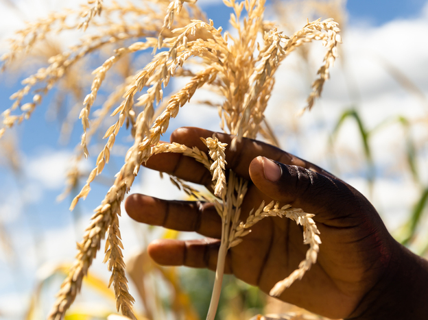 Just three crops — wheat, corn and rice — make up nearly 60 percent of the plant-based calories in most diets, according to a new report. Above, a farmer inspects a stunted cob in her dry maize field on March 13, 2019, in Zimbabwe.