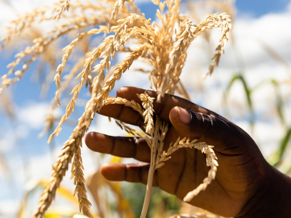 Just three crops — wheat, corn and rice — make up nearly 60 percent of the plant-based calories in most diets, according to a new report. Above, a farmer inspects a plant in her dry maize field on March 13 in Zimbabwe. (Jekesai Njikizana/AFP/Getty Images)