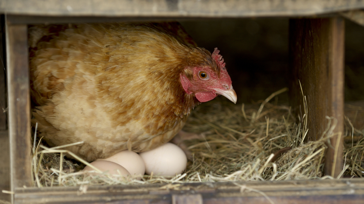 Too Many Eggs For One Basket! Backyard Chicken Farmers Scramble To Give Them Away
