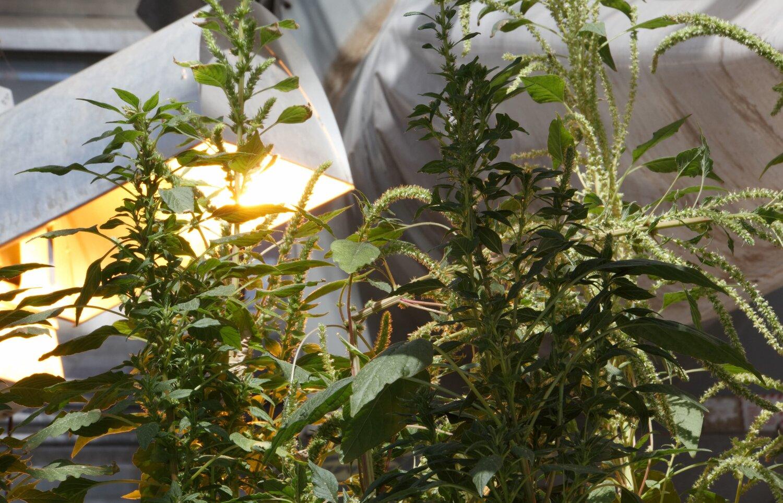 Weeds one step ahead of Roundup