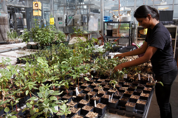 Chandrima Shyam, a graduate student at Kansas State, is hoping to learn how these Palmer amaranth plants survive 2,4-D and other herbicides.