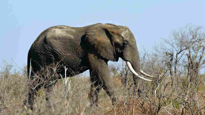 Suspected Rhino Poacher Killed By Elephant, Eaten By Pride Of Lions In South Africa