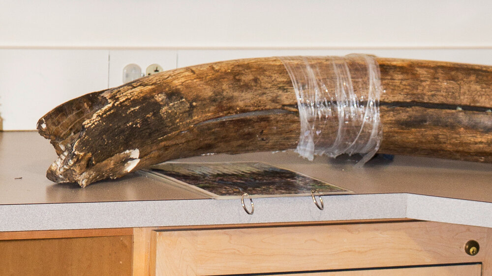 Tusk Luck: Alaska Man Sentenced To Federal Prison For Stealing Mammoth Fossil