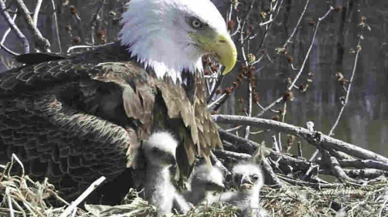 An Unusual Family Of Bald Eagles Adds 3 Eaglets
