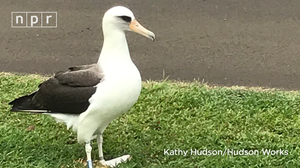 Laysan Albatross: An Unexpected Attraction In Hawaii