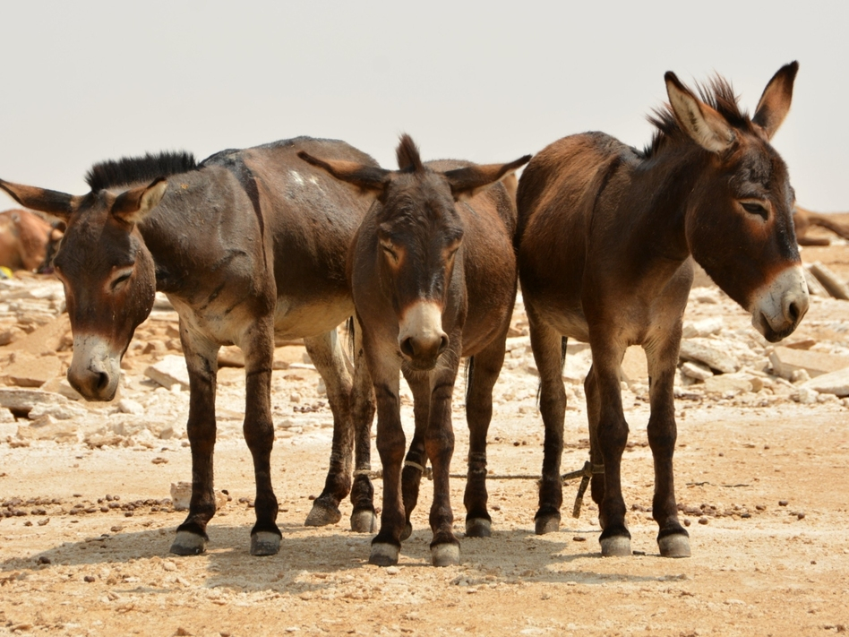 Donkeys in Africa are among those slaughtered so their hides can be sent to China. (Ofir Sarfaty/EyeEm/Getty Images)