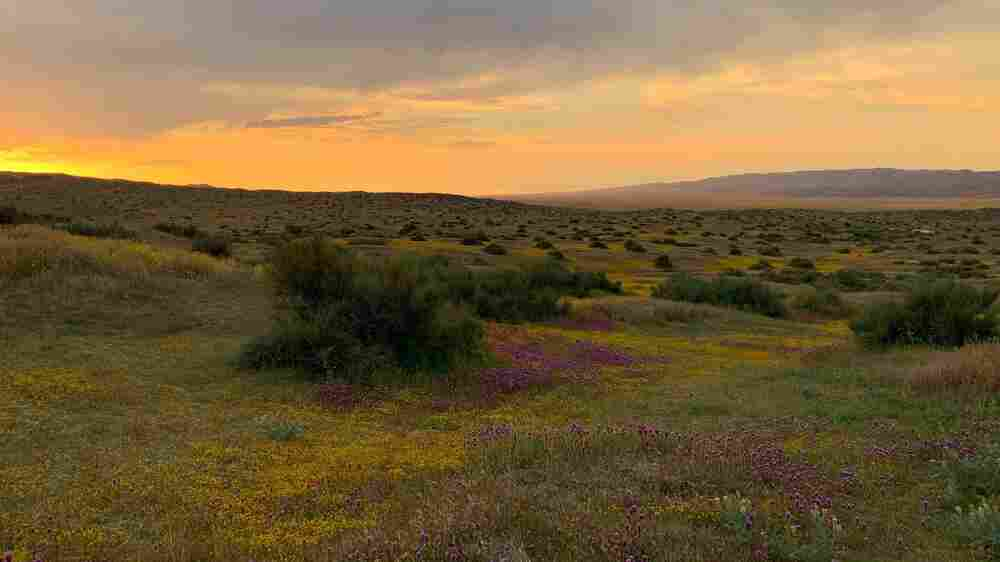 'Lingering Fields Of Yellow' As California's Super Bloom Begins To Fade