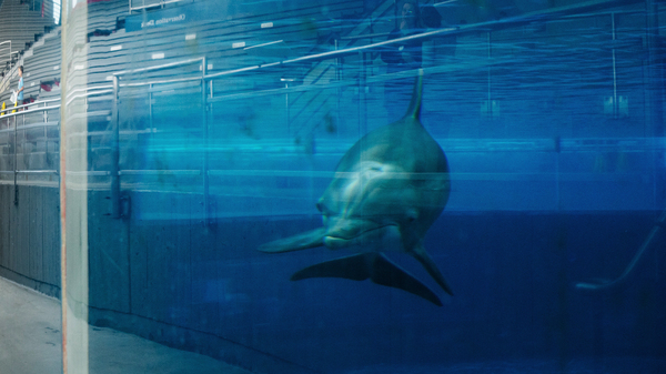 A dolphin swims by at an exhibit at the National Aquarium in Baltimore. The aquarium hopes to relocate its dolphins to a sanctuary off the coast of Florida or in the Caribbean.
