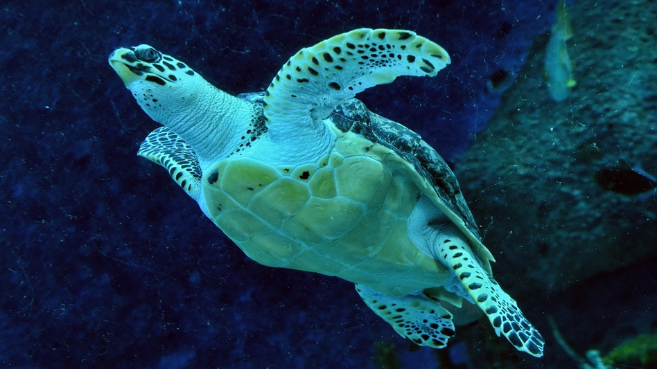 """Nature is declining globally at rates unprecedented in human history,"" a U.N. panel says, reporting that around 1 million species are currently at risk. Here, an endangered hawksbill turtle swims in a Singapore aquarium in 2017. (Roslan Rahman/AFP/Getty Images)"