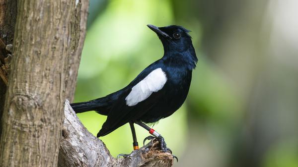 Seychelles magpie-robin (Copsychus sechellarum), Cousin Island Special Reserve, Seychelles.