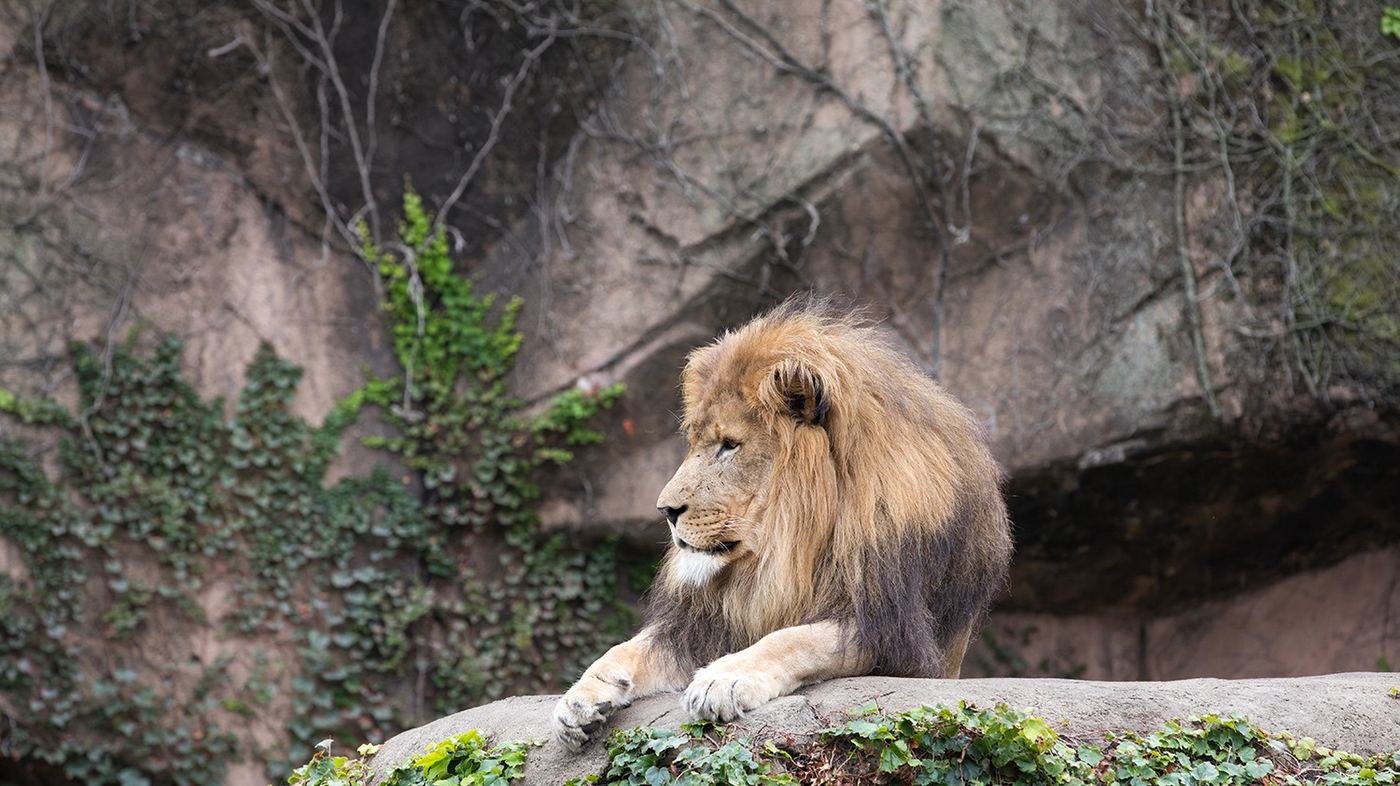 Lincoln Park Zoo Says Goodbye To Lions Ahead Of Renovation Npr