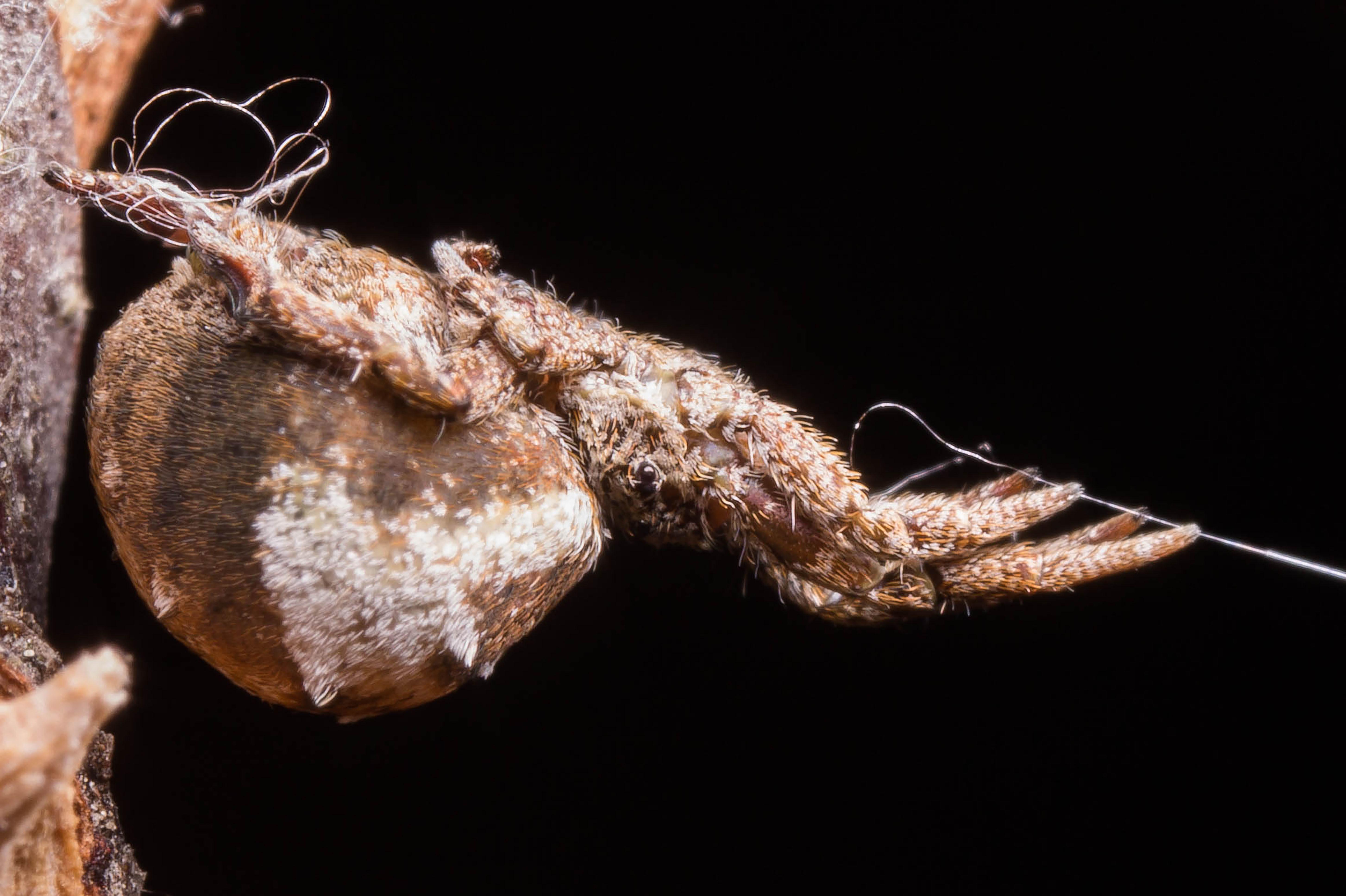 Spider Uses Web As Slingshot To Ensnare Prey, Scientists Find