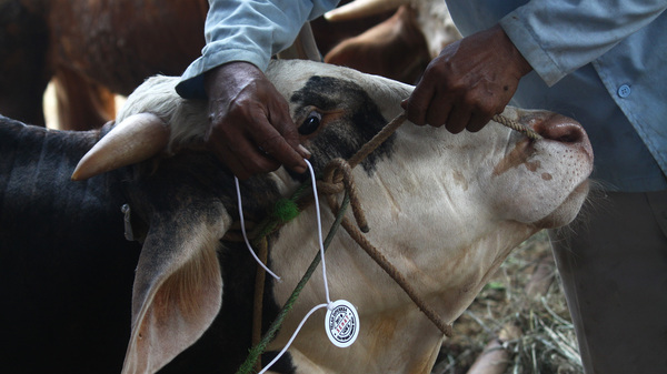Livestock is inspected for anthrax at a market in Indonesia.