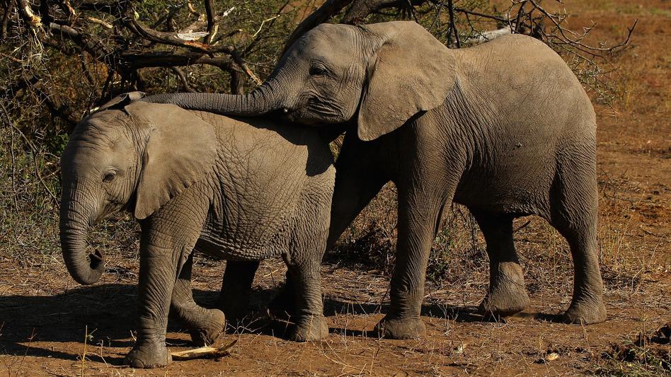 Elephants eat foliage at Botswana's Mashatu game reserve in 2010. (Cameron Spencer/Getty Images)